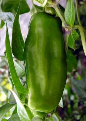 Peter Pepper, Capsicum annuum